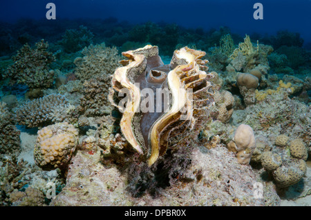 maxima clam or small giant clam (Tridacna Maxima) Red sea, Egypt, Africa - Stock Photo