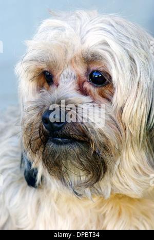 Lovely brown bichon portrait, close up image - Stock Photo