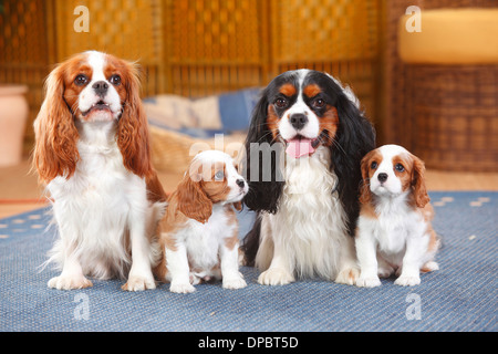 Two Cavalier King Charles spaniel with two puppies sitting on a carpet - Stock Photo