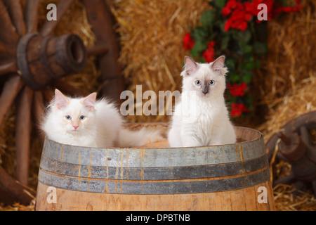 Neva Masquerade, two kittens on a tub - Stock Photo