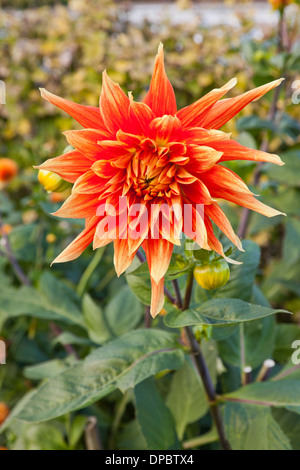 Colorful dahlia  ( Asteraceae ) in the garden of  Packwood House, Lapworth, Warwickshire, Great Britain, UK. - Stock Photo