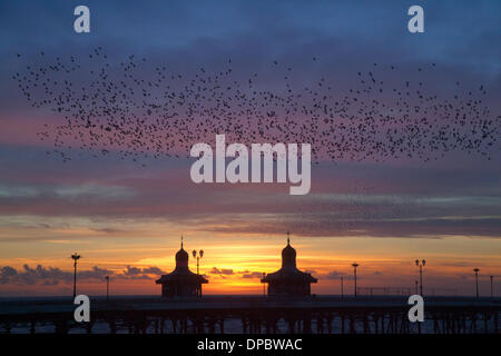 Blackpool, Lancashire, UK 11th January, 2014.  Murmuration exaltation: A starling bird flock forms an acrobatic - Stock Photo