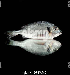 Gilt-head bream (Orata), on mirror with black background. Fresh Sea Fish. - Stock Photo