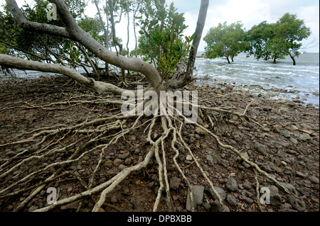 Mangrove roots are seen clearly above a rising tide in this image shot in Morton Bay Brisbane Australia - Stock Photo