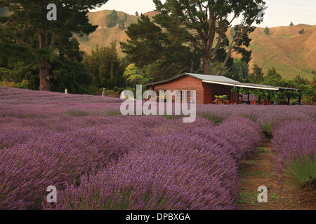 Lavender Farm, Forgotten World Highway 43, Taumarunu, North Island, New Zealand - Stock Photo