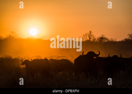 Buffalo herd at sunset, Hwange National Park, Zimbabwe, Africa - Stock Photo