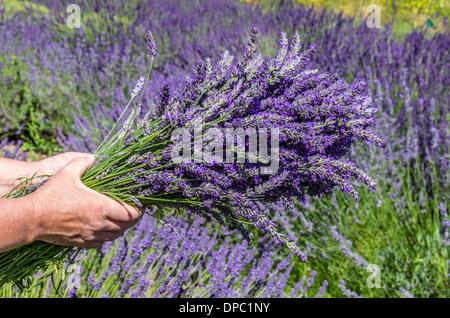 Flower harvester holding a bundle of fresh lavender flowers on a lavender farm.  Dundee, Oregon, USA - Stock Photo