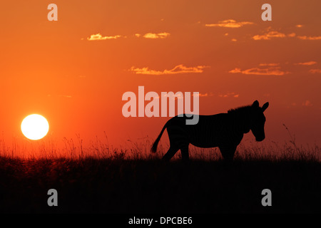 Cape Mountain Zebra (Equus zebra) silhouetted against a red sunrise, South Africa - Stock Photo