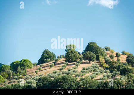 Hills covered with olive trees in Tuscany, Italy - Stock Photo
