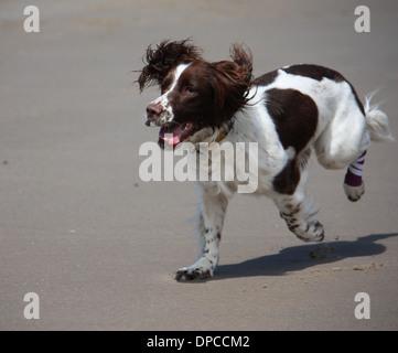 liver and white working type english springer spaniel pet gundog running on a sandy beach - Stock Photo