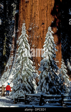 The world's largest tree is a giant sequoia called General Sherman that dwarfs humans and new-growth sequoias covered - Stock Photo