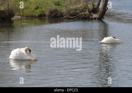 Mute Swans (Cygnus olor). Two cobs (males) with a territory boundary drawn across the river between them. River - Stock Photo