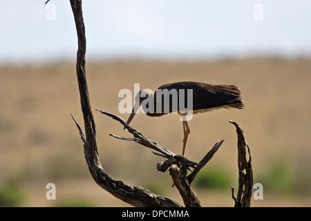 Black Stork (Ciconia nigra) juvenile - Stock Photo