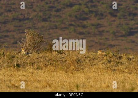 Cheetah (Acinonyx jubatus) with 2 juveniles in the Masai Mara landscape - Stock Photo