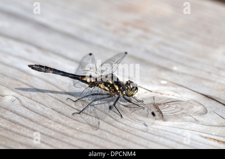 Black darter (Sympetrum danae). Mature male. - Stock Photo