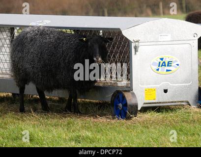 Mobile sheep hayrack feeder, Cornwall, UK - Stock Photo