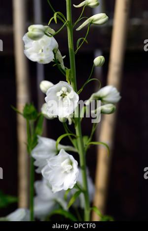 Delphinium galahad white tall flower spike spire flowers flowering delphinium galahad white tall flower spike spire flowers flowering blooms closeups close ups ups perennials mightylinksfo Gallery