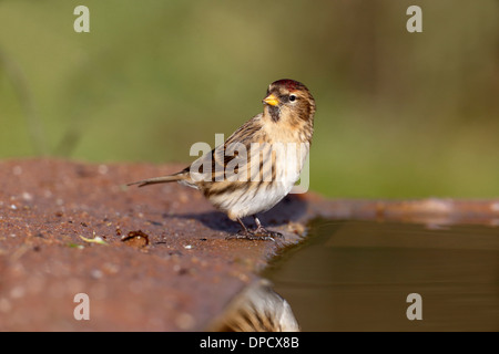 Lesser redpoll, Carduelis cabaret, single bird at water, Warwickshire, January 2014 - Stock Photo