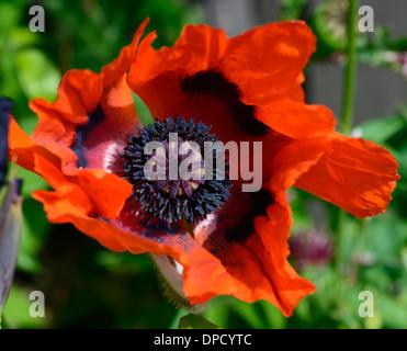Papaver commutatum ladybird poppy poppies red black flower flowering bloom blooming hardy annual
