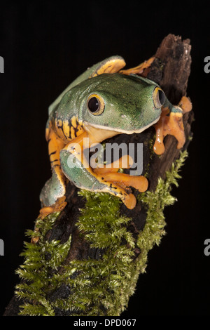 Splendid leaf frog, Cruziohyla calcarifer Stock Photo