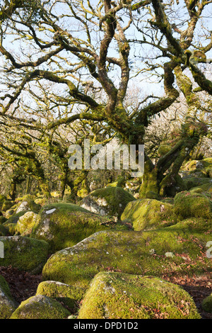 Wistman's Wood, an ancient oak woodland on Dartmoor, Devon, UK. Quercus robur - Pedunculate Oak or English Oak trees - Stock Photo