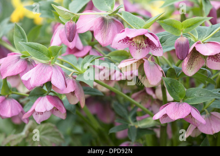Close up of pink Hellebore flowers with shallow depth of field. - Stock Photo