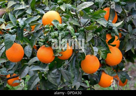 Oranges on Orange Tree - Stock Photo