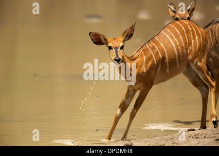 Nyala at waterhole, Mana Pools national park, Zimbabwe, Africa - Stock Photo