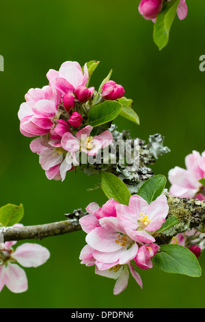 Apple blossom in a Cornish orchard against a distant green background - Stock Photo