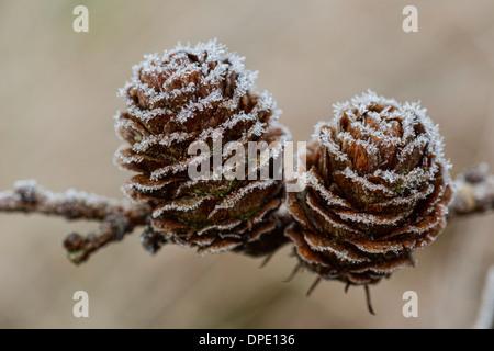 Frost on pine cones - Stock Photo