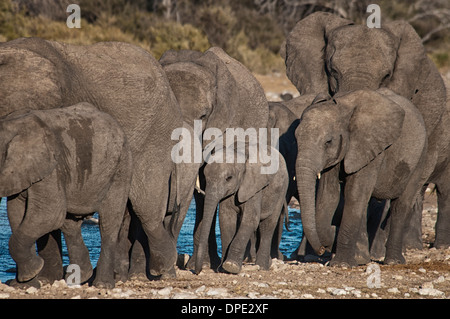 Baby African Elephant, Loxodonta africana, walking in the protection of a herd at a waterhole, Etosha NP, Namibia, - Stock Photo