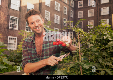 Mid adult man harvesting tomatoes on council estate allotment - Stock Photo