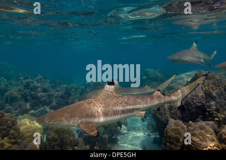 Black-tipped reef sharks (Carcharhinus melanopterus) swimming  in the lagoon, Huahine, French Polynesia - Stock Photo