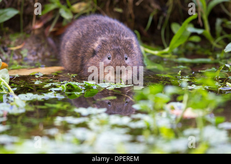 Eurasian water vole ( Arvicola amphibius) eating on the edge of a stream - Stock Photo