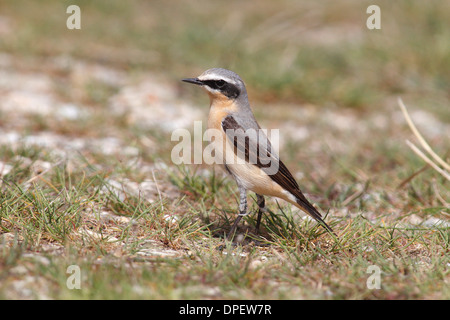 Northern Wheatear (Oenanthe oenanthe), male on the ground, Burgenland, Austria - Stock Photo