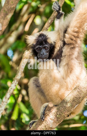 Adult female pileated gibbon (Hylobates pileatus) adopted by monks at Wat Hanchey, Kampong Cham Province, Cambodia - Stock Photo