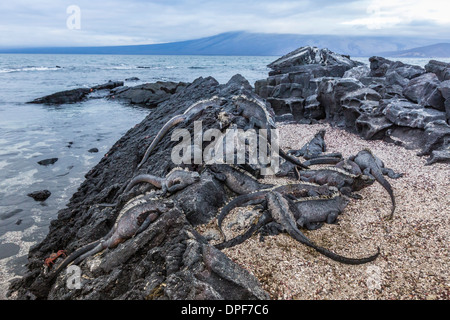 Adult Galapagos marine iguanas (Amblyrhynchus cristatus) basking on Fernandina Island, Galapagos Islands, UNESCO - Stock Photo
