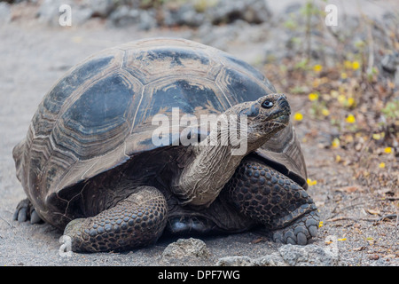 Wild Galapagos giant tortoise (Chelonoidis nigra) in Urbina Bay, Isabela Island, Galapagos Islands, Ecuador, South - Stock Photo