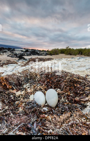 Flightless cormorant nest (Phalacrocorax harrisi), Fernandina Island, Galapagos Islands, UNESCO World Heritage Site, - Stock Photo