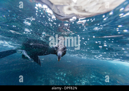 Curious flightless cormorant (Phalacrocorax harrisi) underwater at Tagus Cove, Isabela Island, Galapagos Islands, - Stock Photo