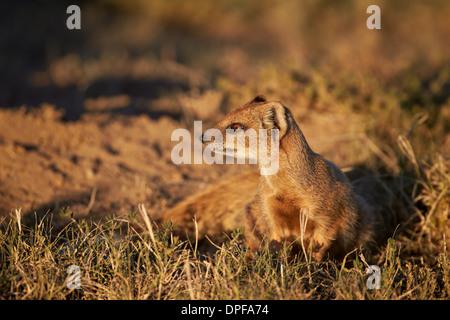 Yellow mongoose (Cynictis penicillata), Mountain Zebra National Park, South Africa, Africa - Stock Photo