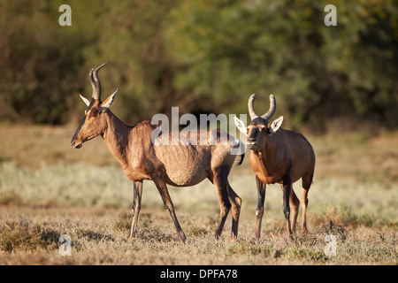 Red hartebeest (Alcelaphus buselaphus) male following a female, Mountain Zebra National Park, South Africa, Africa - Stock Photo