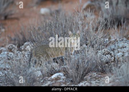 African wild cat (Felis silvestris lybica), Kgalagadi Transfrontier Park, South Africa - Stock Photo
