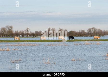Cows grazing on flooded meadows in Cambridgeshire UK - Stock Photo