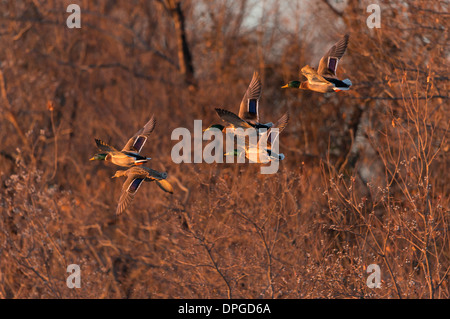A group of mallard drakes (Anas platyrhynchos) follow a hen in flight, North Texas - Stock Photo