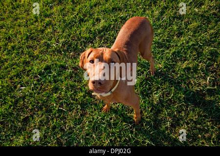 Portrait of Vizsla dog - Stock Photo