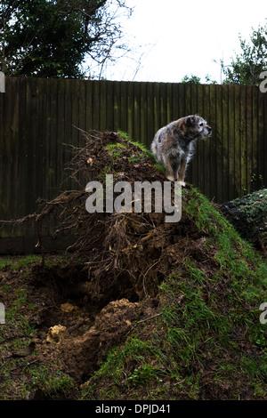 Border terrier pet dog outside sliver birch tree - Stock Photo