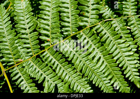 Close up of a lady fern in the undergrowth of the Great Bear Rainforest on the central coast of British Columbia, - Stock Photo
