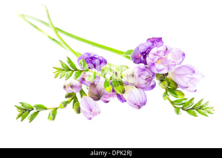The branch of freesia with flowers, buds - Stock Photo