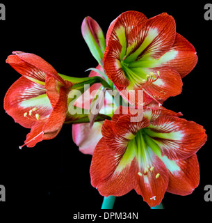 bunch of bright red Hippeastrum  flowers against black background - Stock Photo